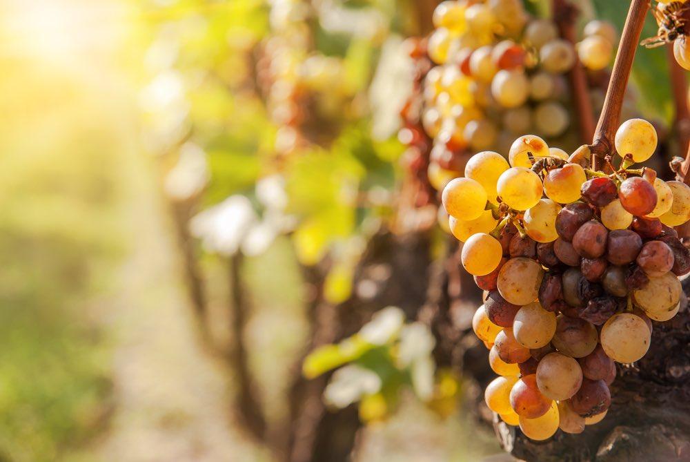 Curiosità sul vino: cos'è il Botrytis Cinerea?