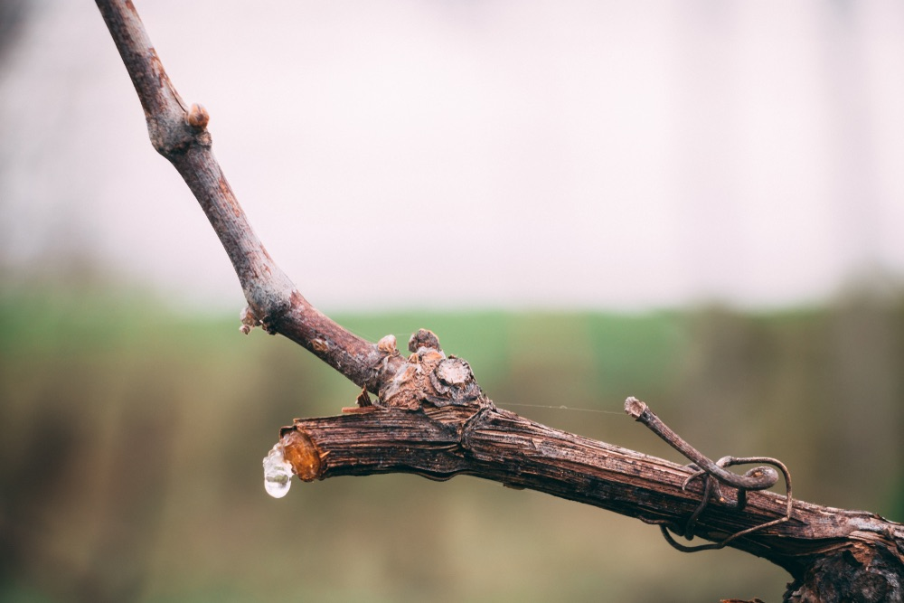 From Crying Vines to Budding Beauties: When Vines Spring to Life