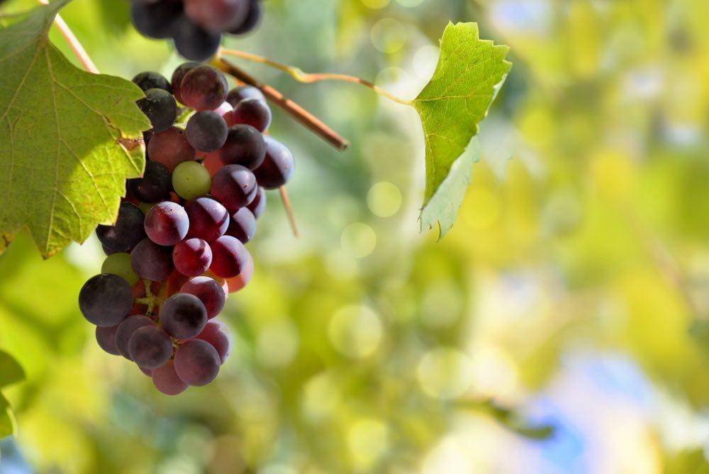 Invaiatura d'agosto: l'uva diventa matura